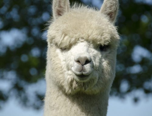 Alpaca's vol in de wol dag